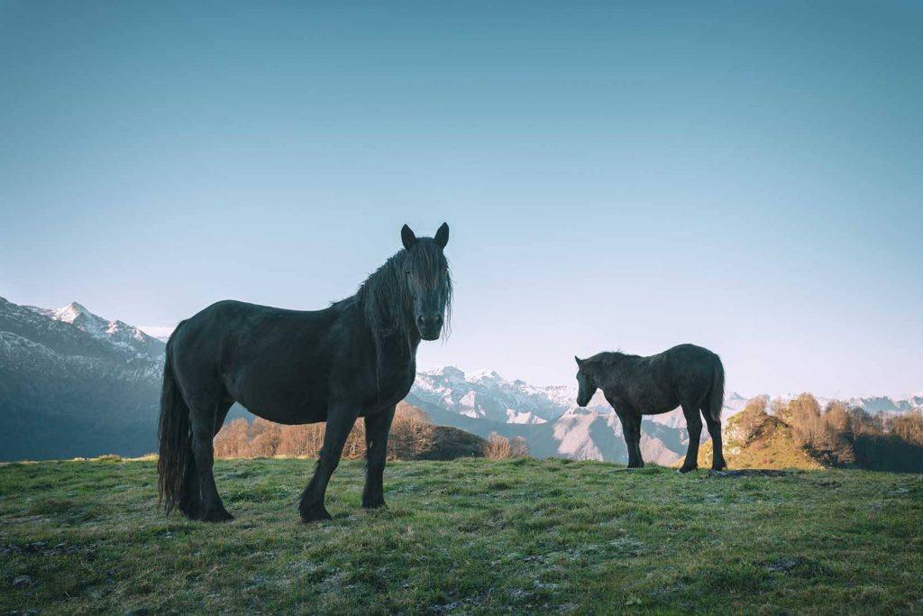 chevaux de mérens ariège